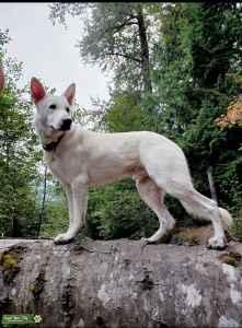 white german shepard  Listing Image