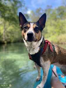 Female Australian cattle dog, looking for a stud  Listing Image