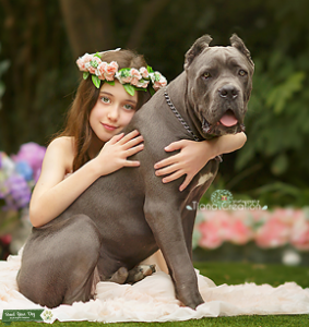 Champion Blood Blue Cane Corso Imported from Europe Listing Image
