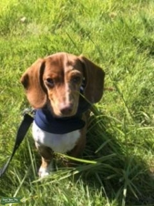 dapple mini dachshund  Listing Image