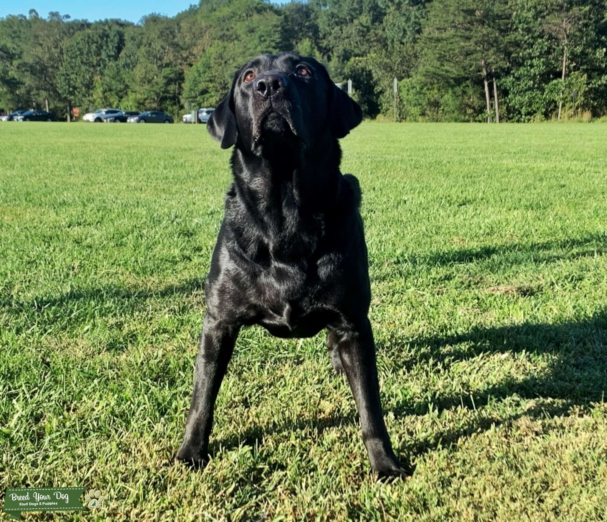 AKC Black Labrador Retriever for Stud   Listing Image Big