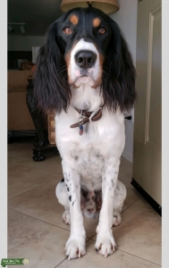 ENGLISH SPRINGER SPANIEL STUD Listing Image