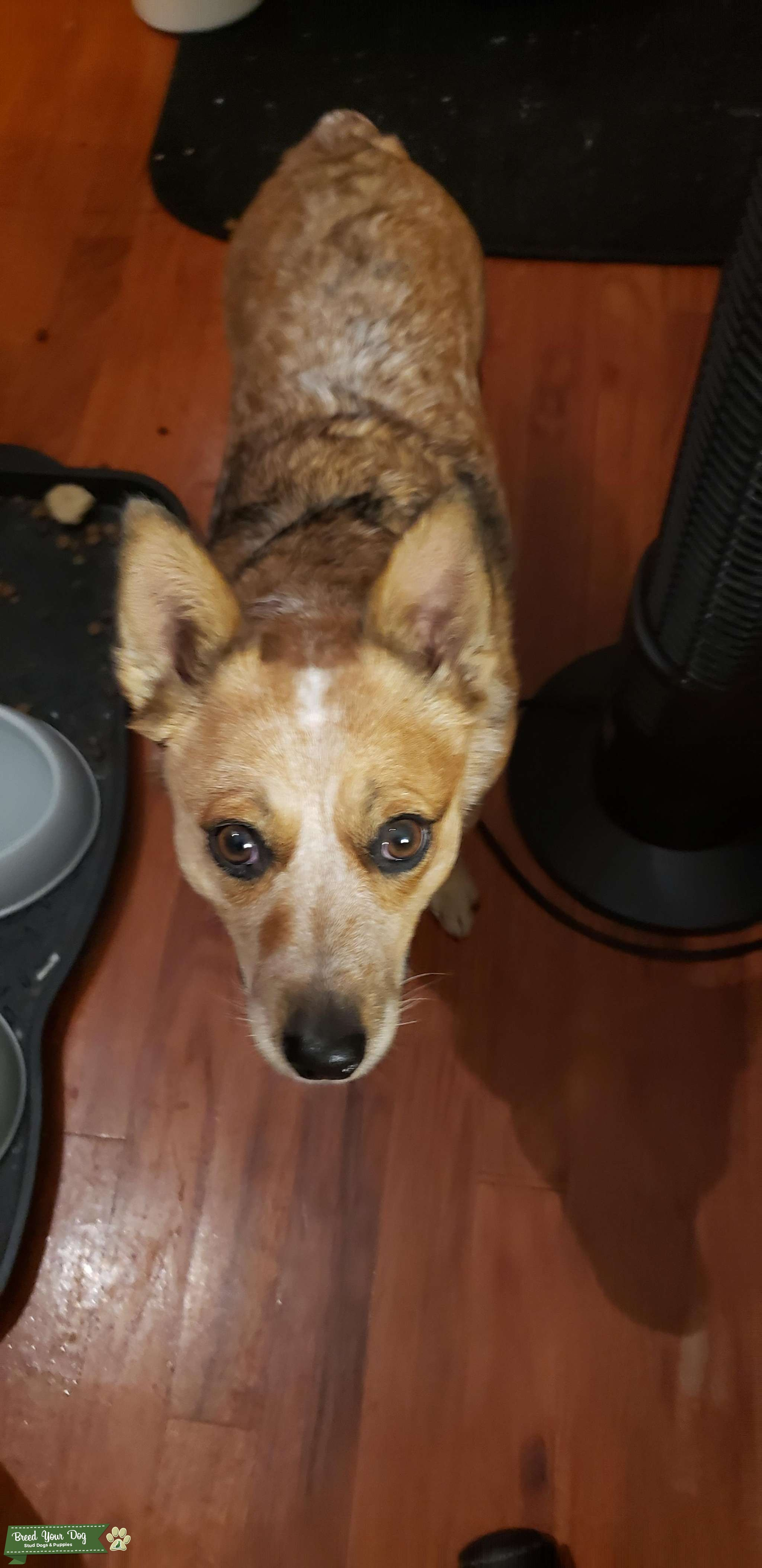 Miniature Red Australian Cattle Dog  Listing Image Big