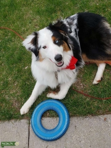 Pure Bred Australian Shepperd Stud Listing Image