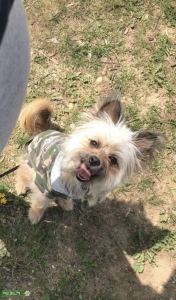 Shih Tzu Yorkie Terrier  Listing Image