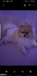 Elsa a 2 year old  white and brown beautiful pomeranian that very loving and playful  Listing Image