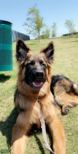 AKC registered black & red long haired german shepherd  Listing Image