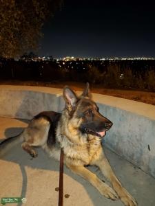 Von Schwartz German Shepherd Dog Listing Image