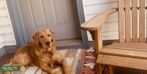 1yr old Golden Male Listing Image