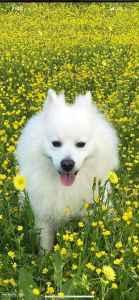 Beautiful Male American Eskimo for Female mate. Listing Image