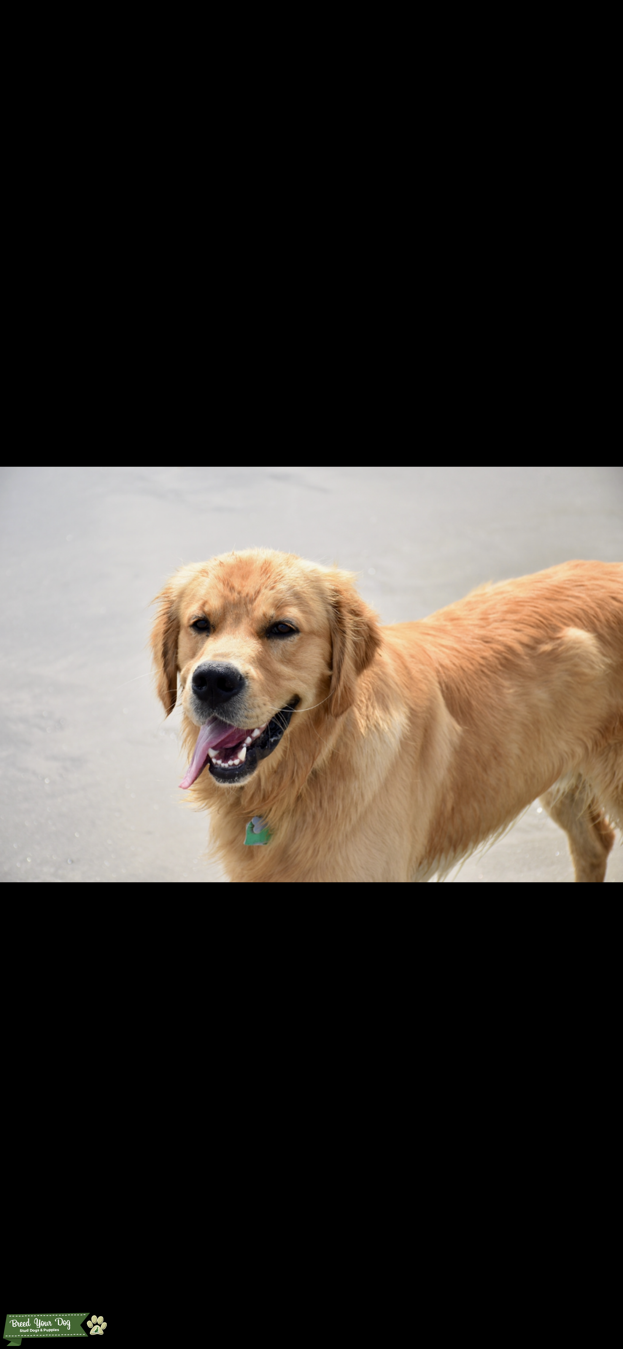 Pure bread Golden Retriever AKC registered Listing Image Big