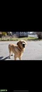 Pure bread Golden Retriever AKC registered Listing Image Thumbnail