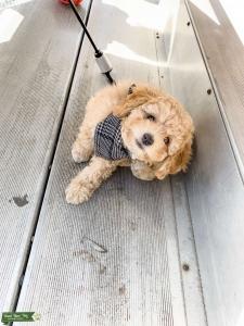 Male Mini Goldendoodle  Listing Image