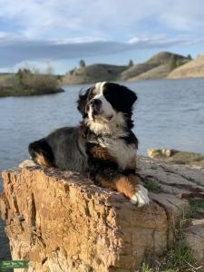 Purebred Bernese Mountain Dog Listing Image