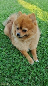 Pomeranian Male 2 years  Listing Image