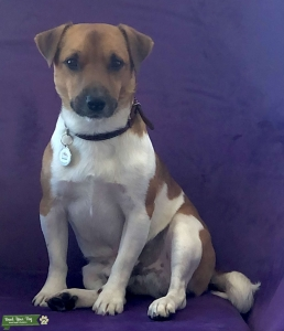 Jack Russel white-ree Listing Image