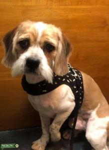 Beagle/shitzu male Listing Image