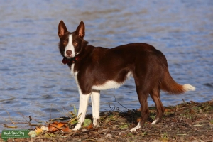 Red working collie Listing Image
