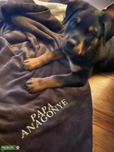AKC Certified Rottweiler Listing Image