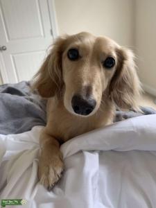 Miniature cream dachshund  Listing Image