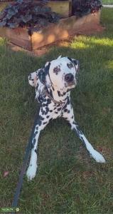 AKC registered dalmatian for stud  Listing Image Thumbnail