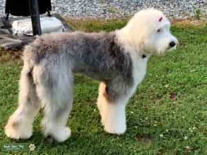 Beautiful Old English Sheepdog Listing Image