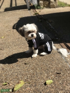 Stud Shihtzu looking for a bitch to breed with  Listing Image