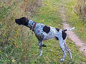 Liver and White German Shorthaired Pointer. Outstanding in his field! Listing Image