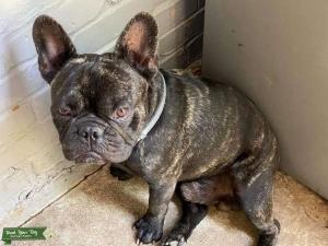 French Bulldog Stud Listing Image