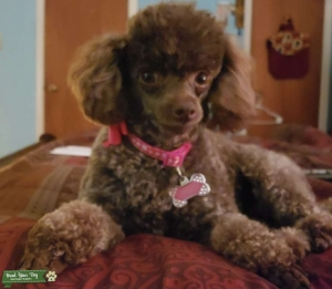 Miniature Toy Poodle  Listing Image