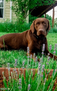 3 year old akc Chocolate lab  Listing Image