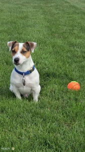 Jack Russell Shorty  Listing Image