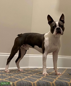 Boston Terrier Stud - AKC Listing Image