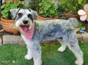 Looking for Mini Schnauzer Stud Listing Image