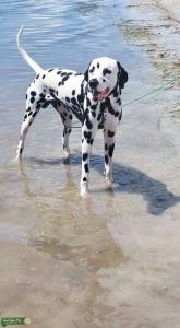 Dalmatian for stud  Listing Image