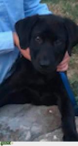 Black Labrador Male Listing Image