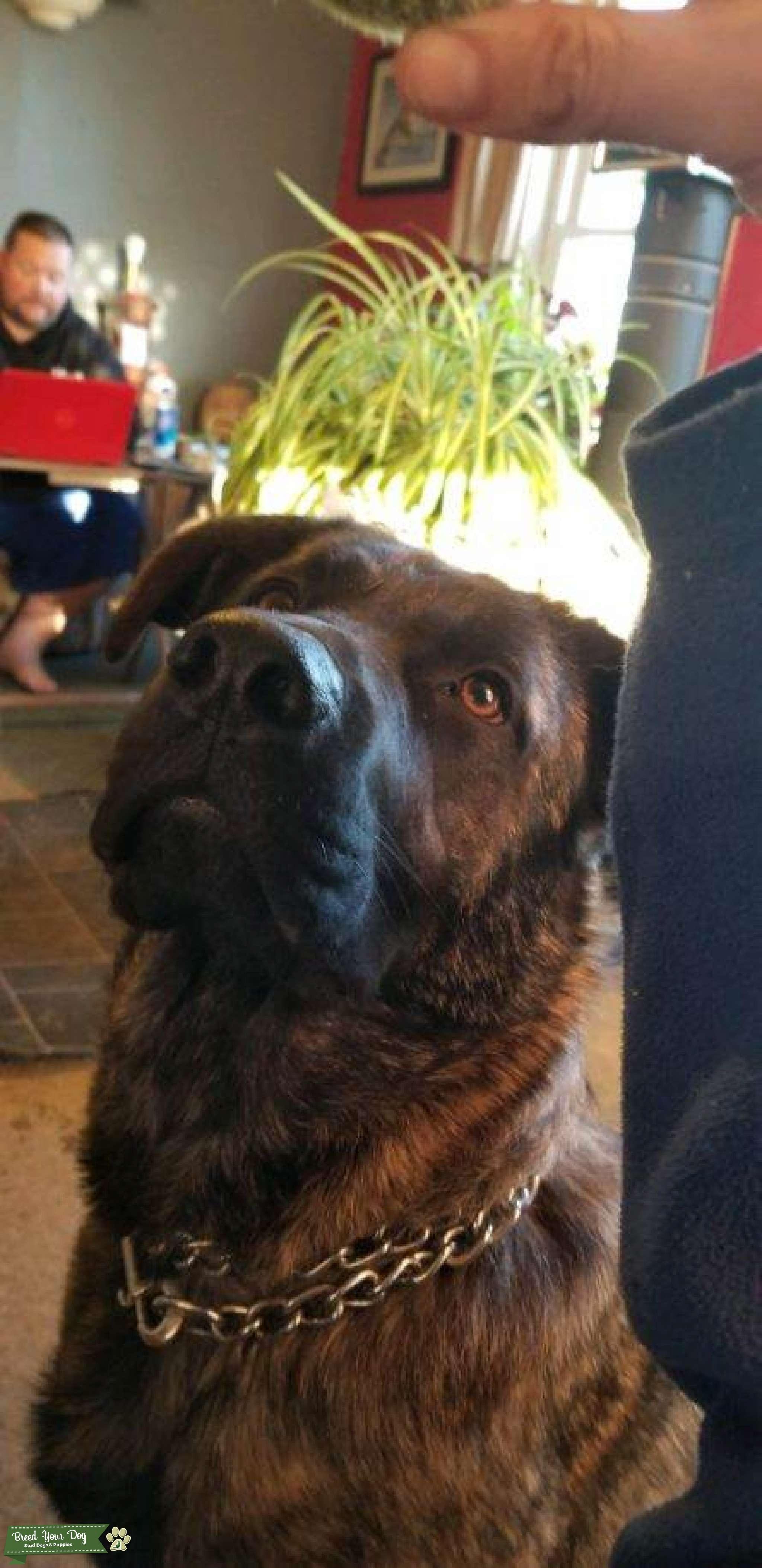 Mastiff  Listing Image Big