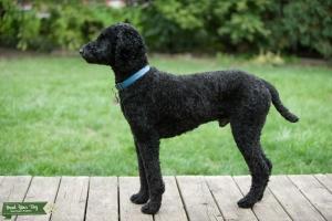 Black Poodle Listing Image