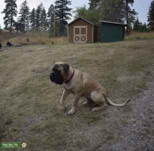 AKC English Mastiff for STUD Listing Image