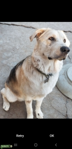 malamute wolf  Listing Image