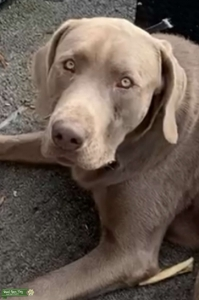 1 year old Silver Labrador  Listing Image