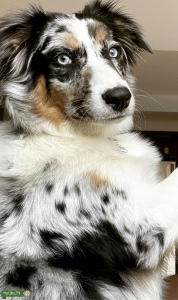 Looking for a red Australian shepherd stud Listing Image