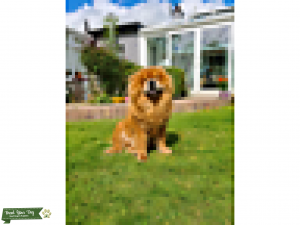 Red Chow Chow Listing Image