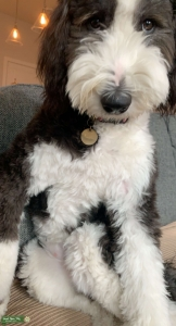 Sheepadoodle ready to find love  Listing Image