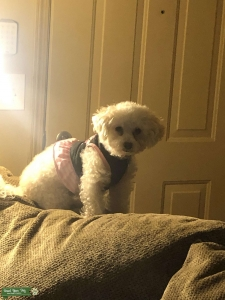 ISO Bichon frise/bolognese/small fluffy dogs Listing Image