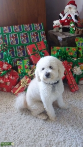 Very Special Maltipoo Listing Image