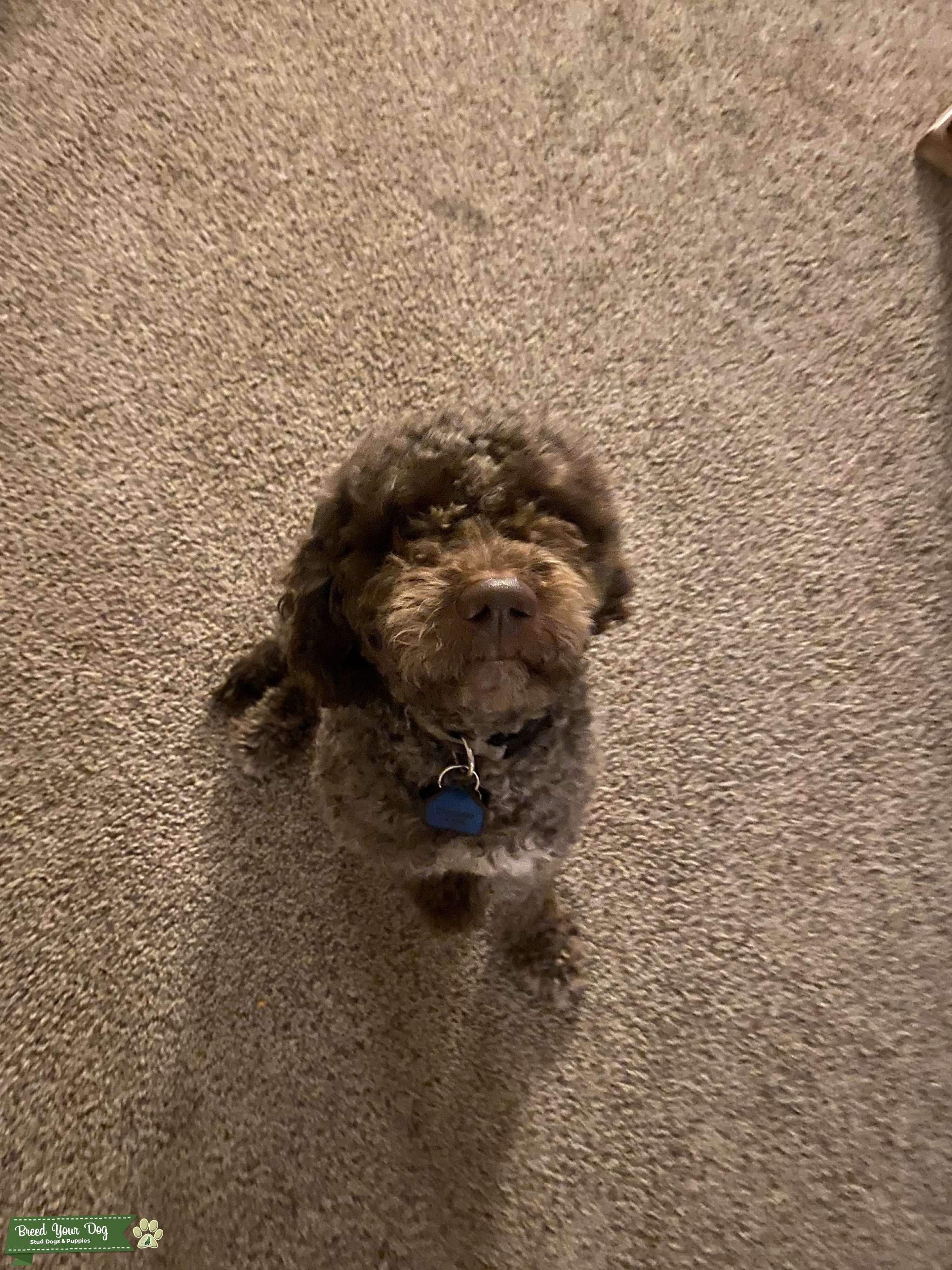 Super Playful Lagotto Romagnolo Listing Image Big