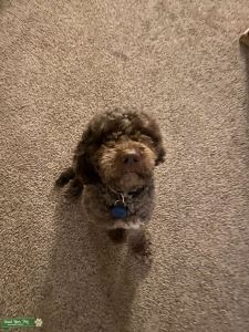 Super Playful Lagotto Romagnolo Listing Image Thumbnail
