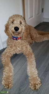Apricot Labradoodle Listing Image