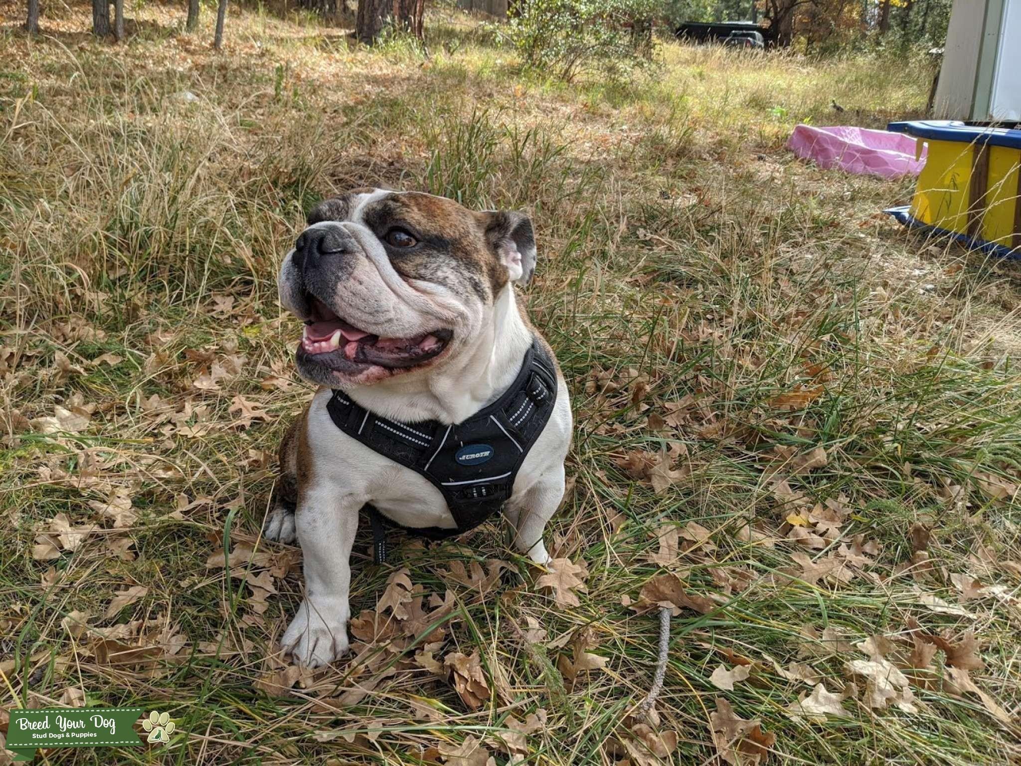 Ch and GCH Blood line English Bulldog Listing Image Big